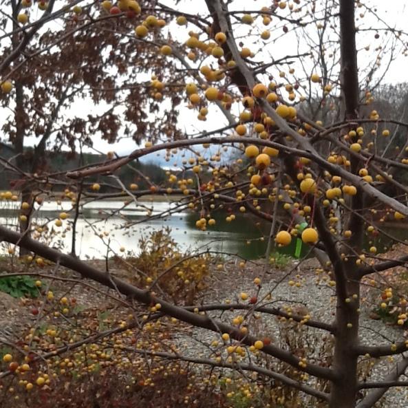 memorial garden's golden raindrops crab apple